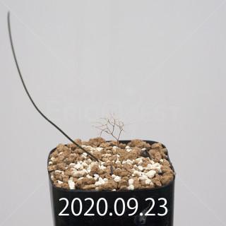 ドリミア イントリカータ ES21689 実生 21234