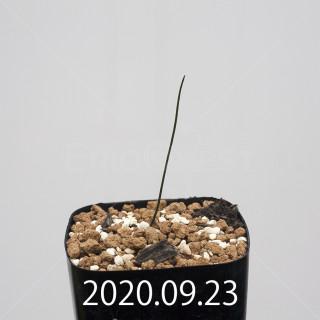ドリミア イントリカータ ES21689 実生 21236