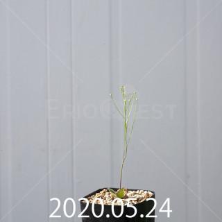 エリオスペルマム ポルフィロウァルウェ 実生 3722