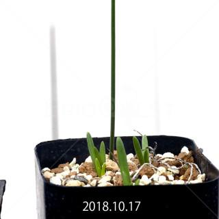 ラケナリア コリンボーサ EQ441 実生 8281