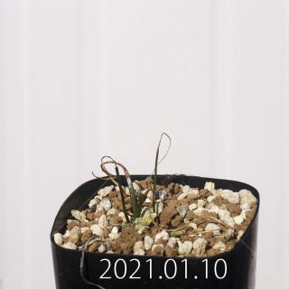 ラケナリア コリンボーサ EQ453 実生 8379