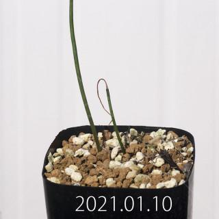 ラケナリア コリンボーサ EQ453 実生 8381