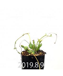 ユーフォルビア グロボーサ 子株 10016