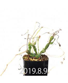 ユーフォルビア グロボーサ 子株 10021