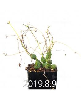ユーフォルビア グロボーサ 子株 10022