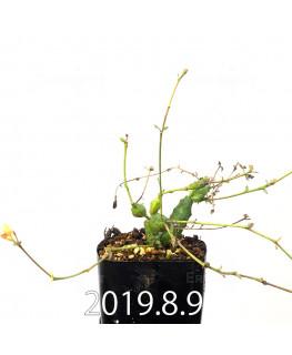 ユーフォルビア グロボーサ 子株 10023