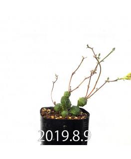ユーフォルビア グロボーサ 子株 10025
