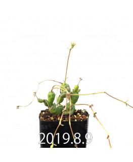 ユーフォルビア グロボーサ 子株 10030