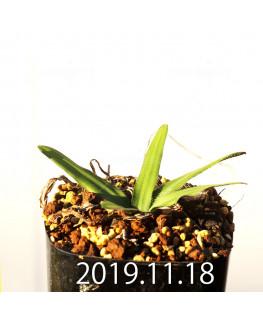 Drimia haworthioides ドリミア ハオルチオイデス ピリフェラ変種  10075