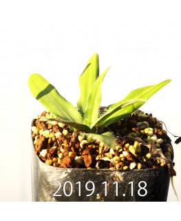ドリミア ハオルチオイデス 子株 10076