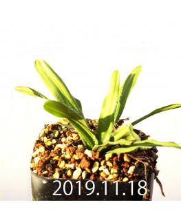 Drimia haworthioides ドリミア ハオルチオイデス ピリフェラ変種  10078