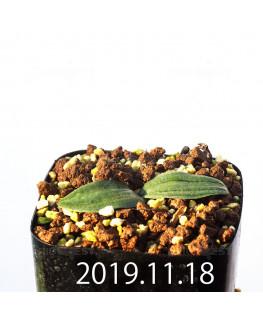 Drimia sp. ドリミア 未識別種 cf. プラティフィラ Lemoen poo  10082