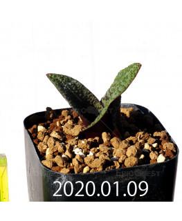 ラケナリア プスツラータ ISI2007-26 子株 10137