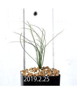 ドリミア ナナ 子株 10200