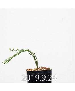 アルブカ ブルース - ベイエリ 実生 10327