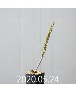 ラケナリア ラティメラエ 実生 10343