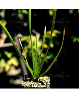 トラキアンドラ sp. 実生 1043