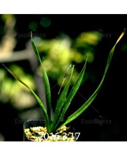 トラキアンドラ sp. 実生 1047