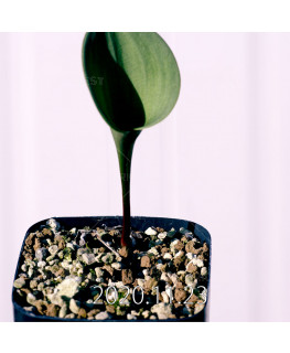 Eriospermum pubescens エリオスペルマム プベスケンス EQ111  10485