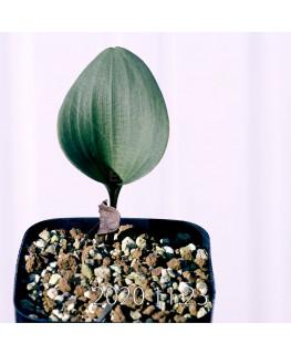 Eriospermum pubescens エリオスペルマム プベスケンス EQ111  10489