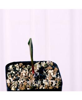 Eriospermum pubescens エリオスペルマム プベスケンス EQ111  10498