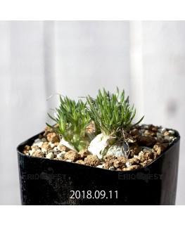 Ornithogalum sp. オーニソガラム 未識別種 EQ615  10905