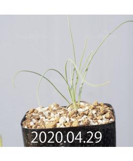Drimia uranthera ドリミア ウランテラ EQ641  10930