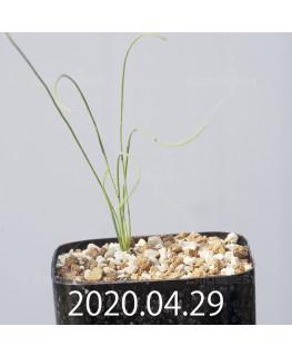 Drimia uranthera ドリミア ウランテラ EQ641  10931