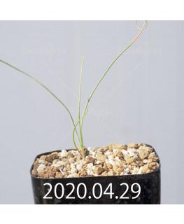 Drimia uranthera ドリミア ウランテラ EQ641  10932