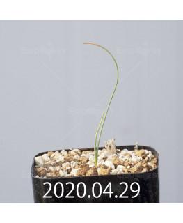 Drimia uranthera ドリミア ウランテラ EQ641  10933
