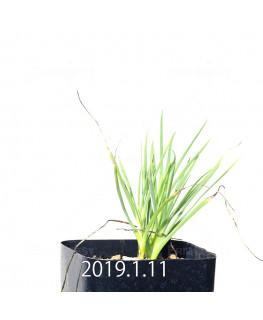 ラペイロージア シレノイデス 子株 10936