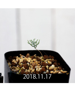 エリオスペルマム アフィルム IB10404 実生 10967