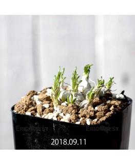 オーニソガラム sp. KangoRiver 子株 10983