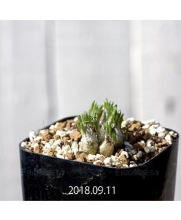 オーニソガラム sp. KangoRiver 子株 10990