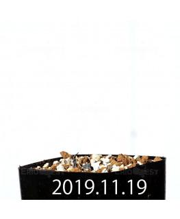 エリオスペルマム カペンセ 実生 11082