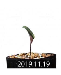 エリオスペルマム カペンセ 実生 11085