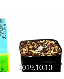 エリオスペルマム ドレゲイ IB13772 実生 11152