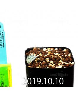 エリオスペルマム ドレゲイ IB13772 実生 11156
