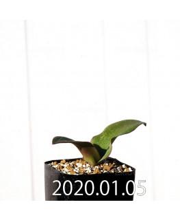 ラケナリア sp. JAA1352 実生 11208