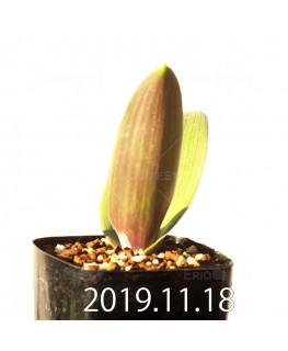 ラケナリア sp. JAA1352 実生 11210