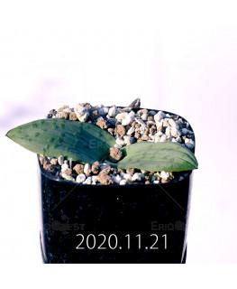 ラケナリア ネルボーサ JAA1448 実生 11293