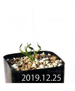 カマイスキラ スピラリス 子株 11305