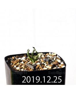カマイスキラ スピラリス 子株 11309