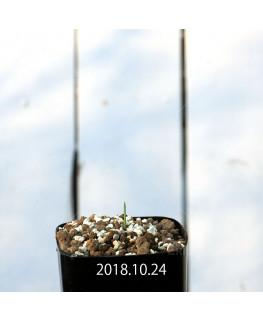 ラケナリア カループールテンシス EQ636 実生 11689