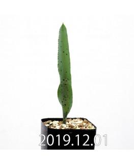 ラケナリア カループールテンシス EQ636 実生 11691