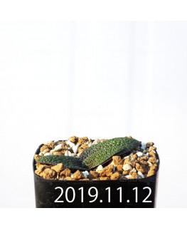 ラケナリア ロンギブラクテアータ EQ645 実生 11789