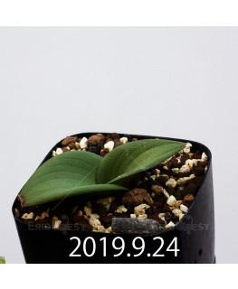 マッソニア ジャスミニフローラ IB11536/JIL085 実生 11982
