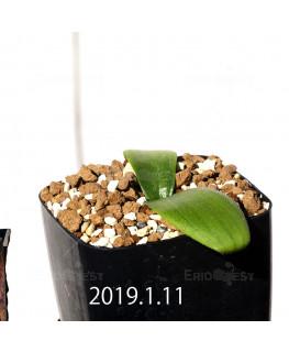 マッソニア ジャスミニフローラ IB11536/JIL085 実生 11988