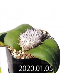 マッソニア ジャスミニフローラ IB11536/JIL085 実生 11991