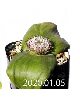 マッソニア ジャスミニフローラ IB11536/JIL085 実生 11994
